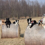 Lost & Found: The SAR Dogs of Warsaw